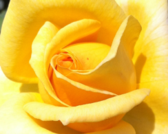 Germany – Yellow Rose