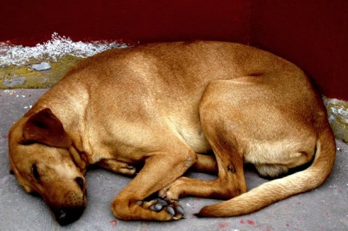 Sleeping Dog – Peru